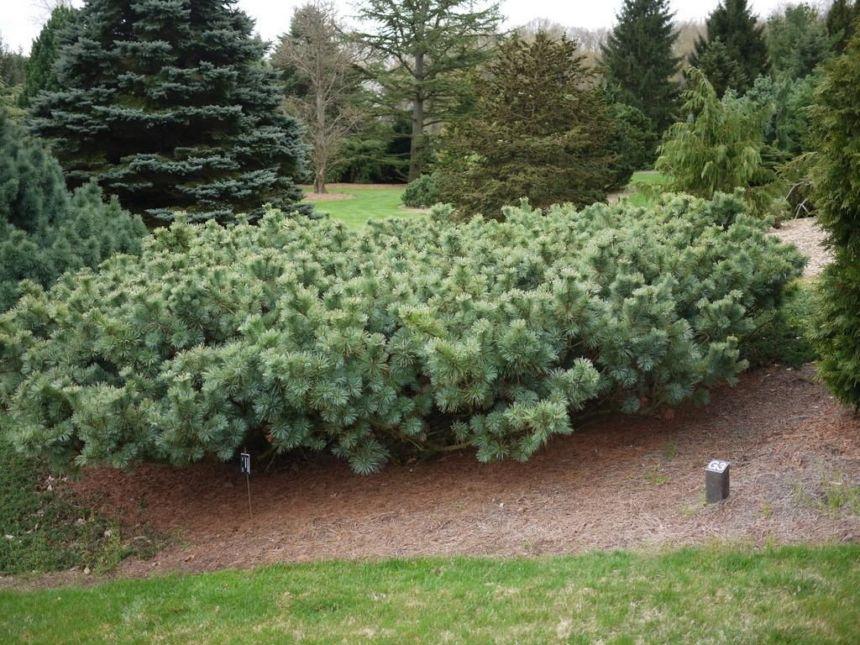 pianta da giardino sempreverde