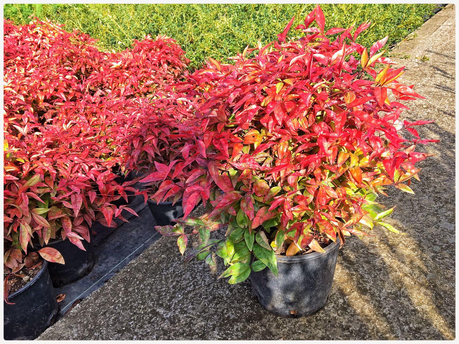 Foto Di Piante Sempreverdi arredo giardino in rattan e piante da esterno sempreverdi